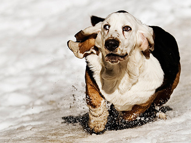 18 Cute Basset Hound Puppies Running Will Make Your Day