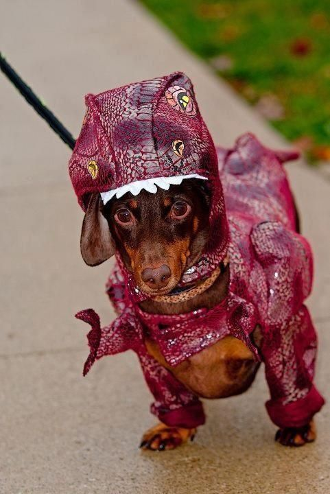 Weiner Dog Halloween Costumes.The 55 Greatest Dachshund Costumes Ever Page 2 Of 18 The Paws