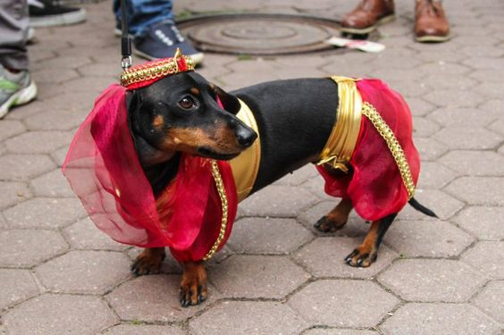 Weiner Dog Halloween Costumes.The 55 Greatest Dachshund Costumes Ever Page 3 Of 18 The Paws