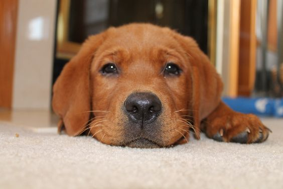21 Cutest Fox Red Lab Puppies Ever The Paws