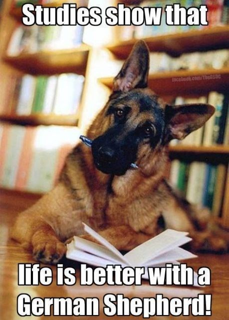 55 Funny Memes Of German Shepherds That Will Make You Laugh All