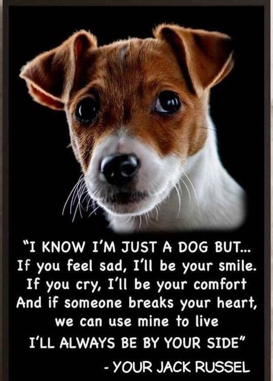 12+ Cute Jack Russell Terrier Dog Quotes And Sayings | The Paws