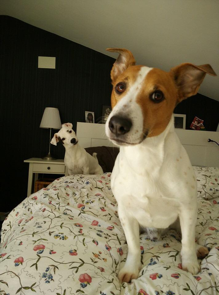 The 55+ Greatest Pictures of Jack Russell Terriers EVER ...