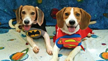 15+ Beagle Halloween Costume Ideas & 60+ Best Halloween Costumes For Chihuahuas | The Paws
