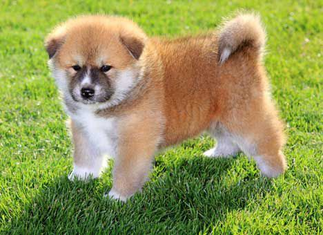 12+ of the Cutest Japanese Akita Puppy Pics Ever – Page 4 ...