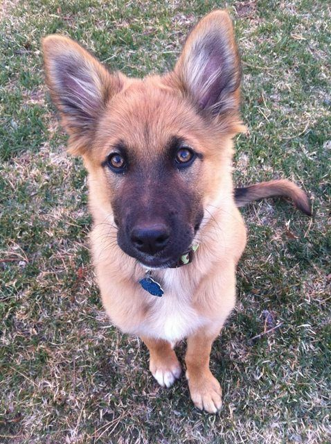 40 Dogs Mixed With German Shepherd The Paws