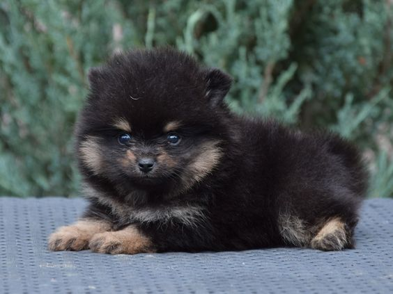 16 Absolutely Perfect Black Pomeranians