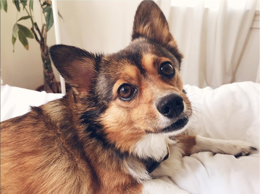These Dogs Are As Cute As They Come Corgi Pomeranian Mix The Paws