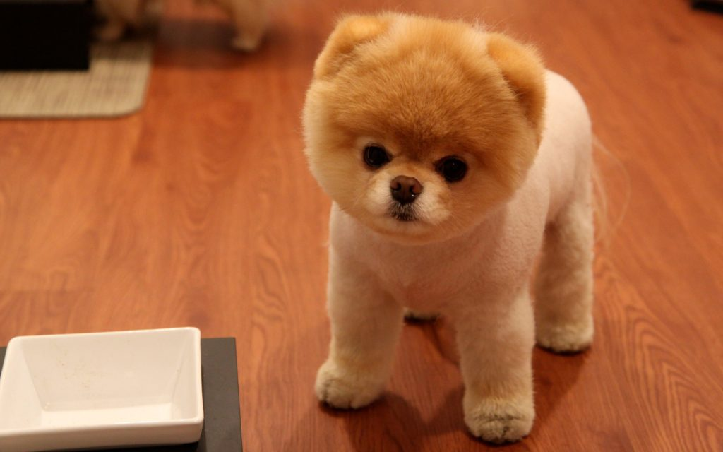 15 Absolutely Cute Teddy Bear Pomeranians Page 5 Of 7 The Paws