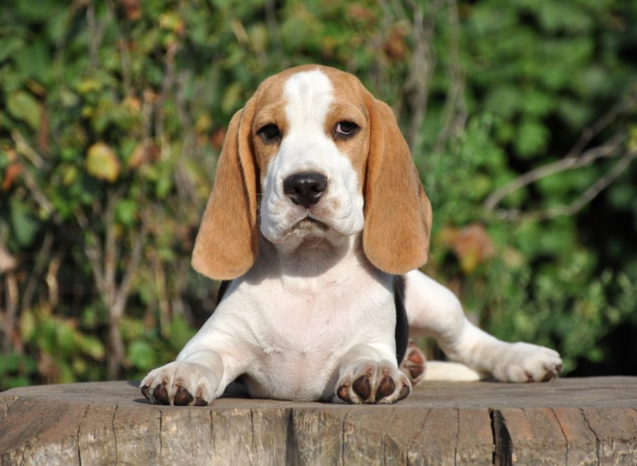 10+ Best Beagle Dog Names   The Paws