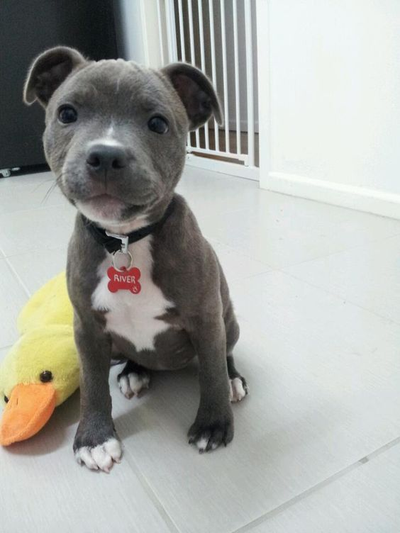 27 Cutest Blue Nose Pitbull Pictures Ever The Paws