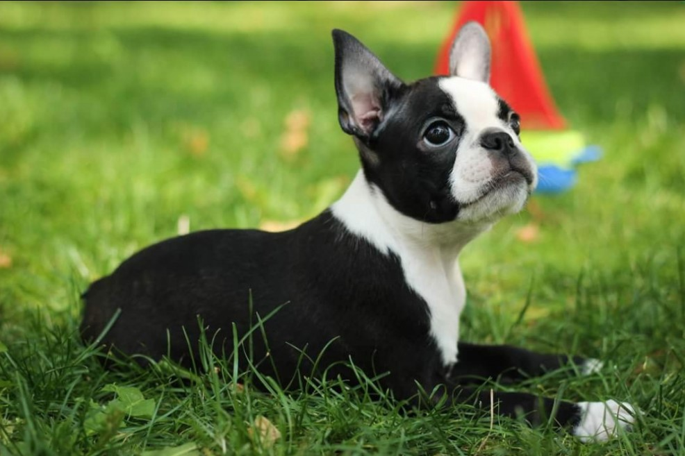 boston terrier dog names 10 best boston terrier dog names the paws 7382