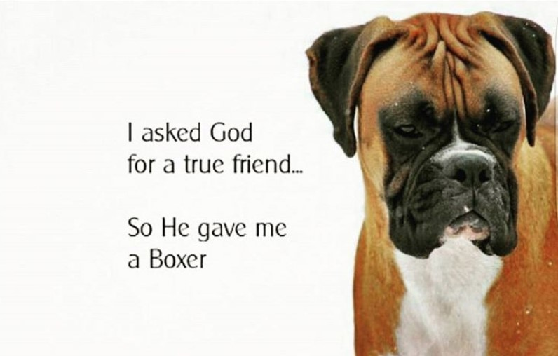 15 Best Boxer Dog Quotes and Sayings | The Paws