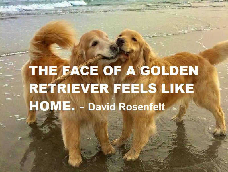18 Best Golden Retriever Quotes And Sayings The Paws