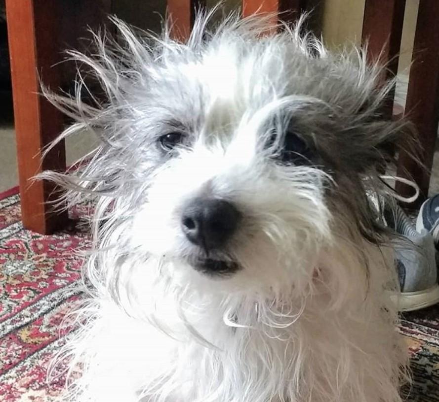 25 Cute Long Haired Jack Russell Terrier Pictures The Paws