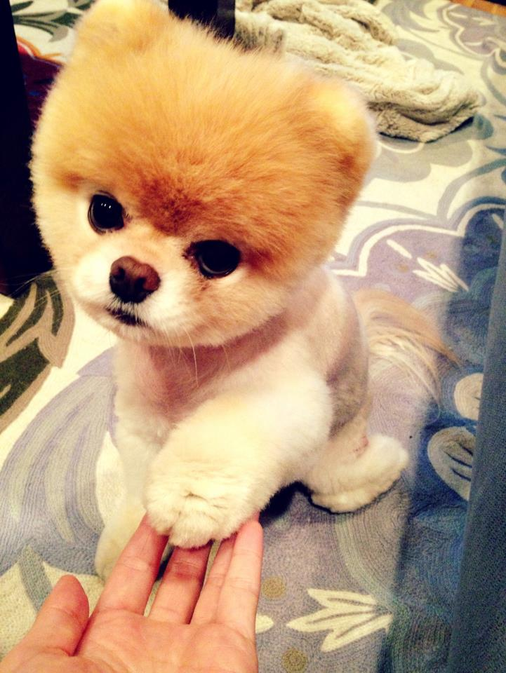 Top 6 Best Pomeranian Haircut Styles The Paws