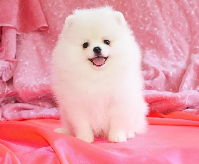 10+ Best Pomeranian Dog Names – The Paws