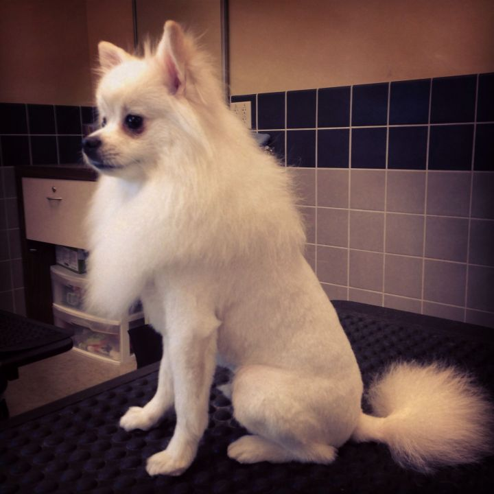 White pomeranian lion cut