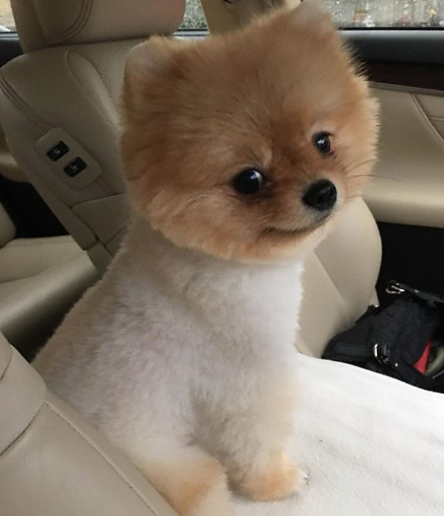 18 Best Pomeranian Teddy Bear Cut Pictures – The Paws