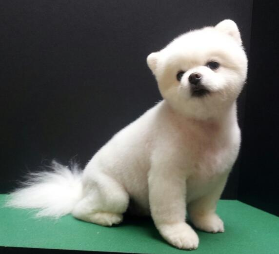 White pomeranian teddy bear cut