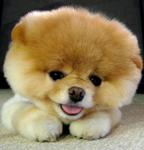 Pomeranian teddy bear cut