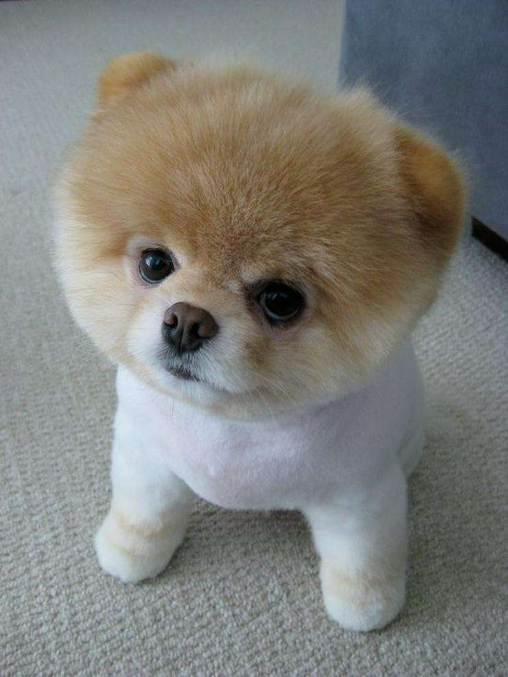 Super Top 6 Best Pomeranian Haircut Styles | The Paws @HN_03