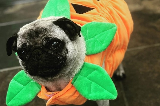 25 Trendy Pug Costumes The Paws