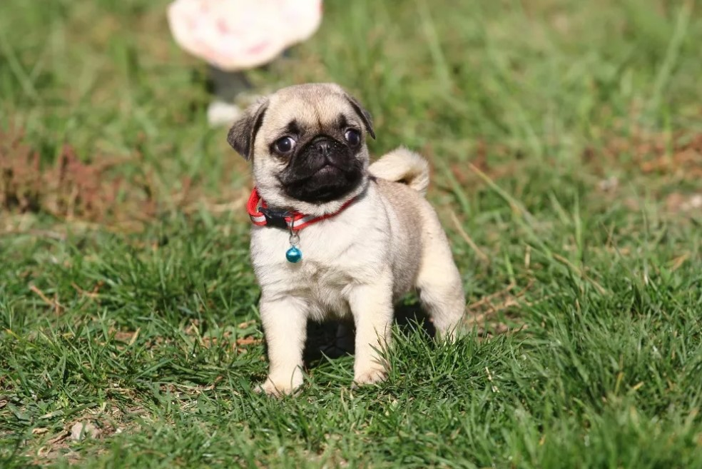 10 Best Pug Dog Names The Paws