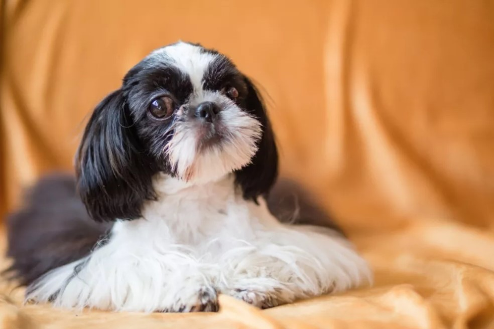 daisy patch shih tzu 10 best shih tzu dog names the paws 5678