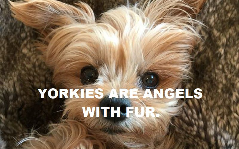 10 Best Yorkie Quotes And Sayings The Paws
