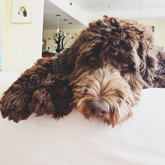 20 Dogs Mixed With Poodles | Page 3 of 6 | The Paws
