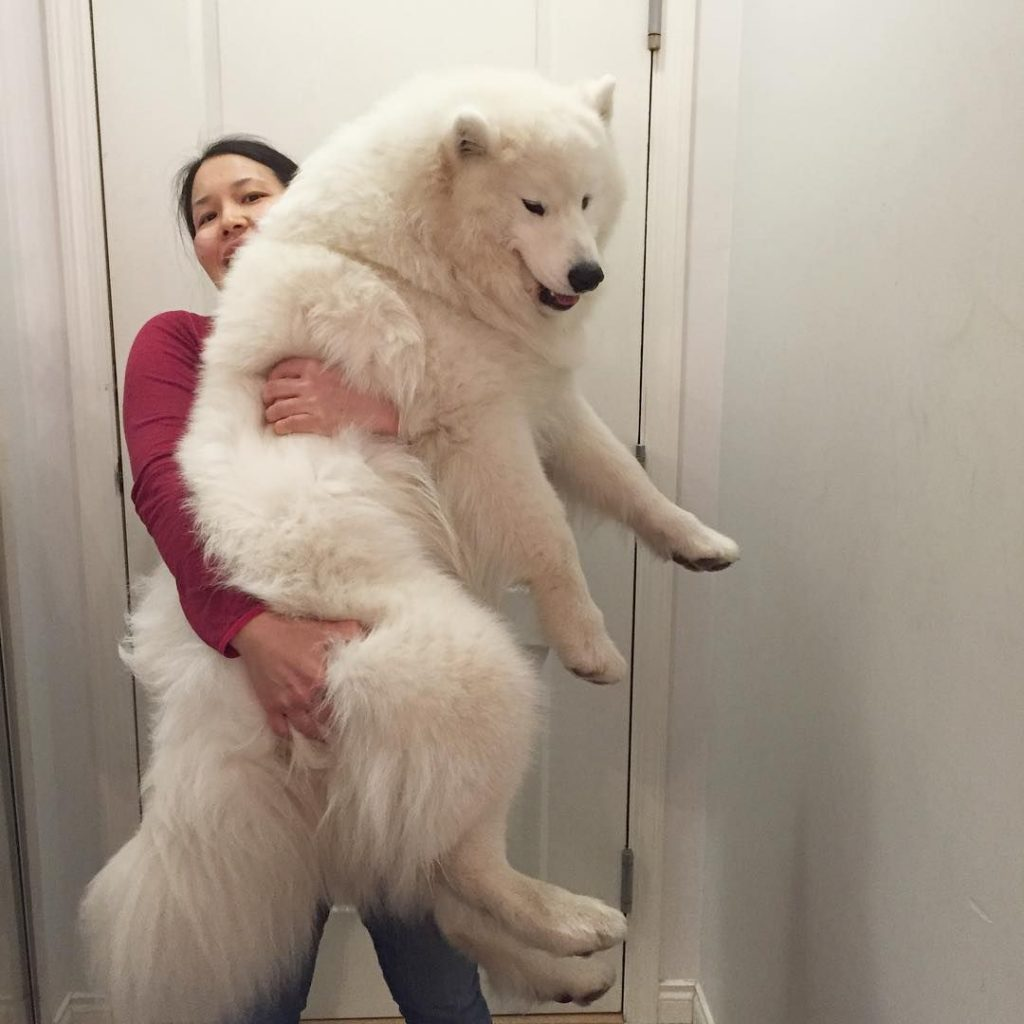 10 Best Samoyed Dog Names The Paws