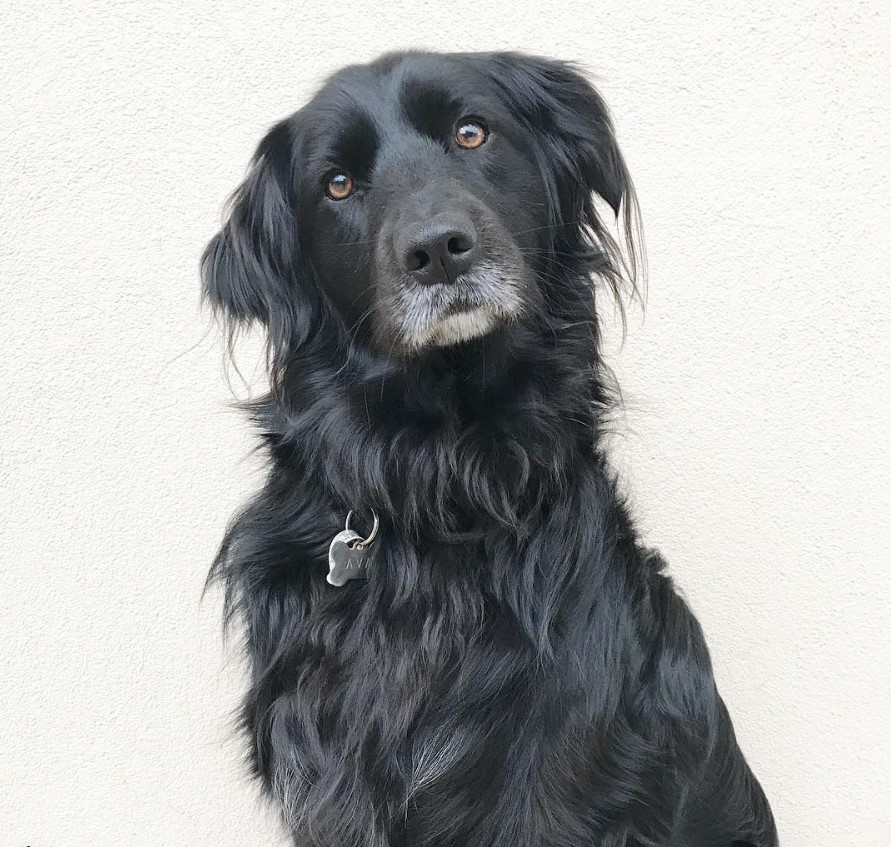 Retrievers Mixed With Border Collie