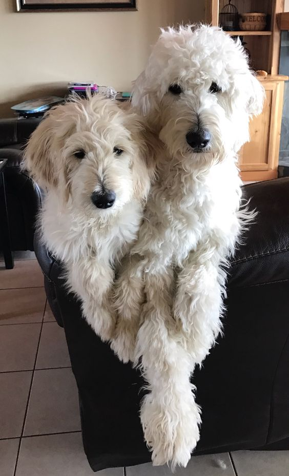 10 Best Goldendoodle Dog Names The Paws