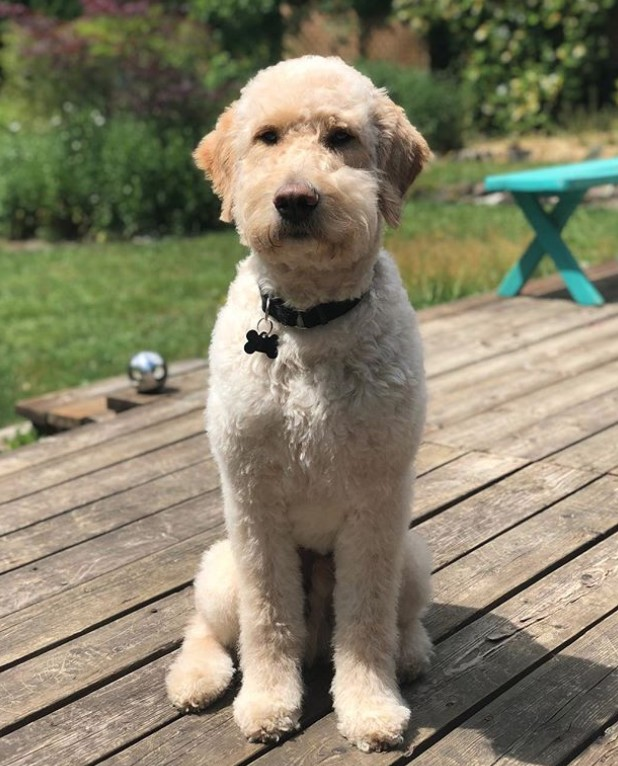 semi short haircut on a goldendoodle goldendoodles 20 best goldendoodle haircut pictures the paws