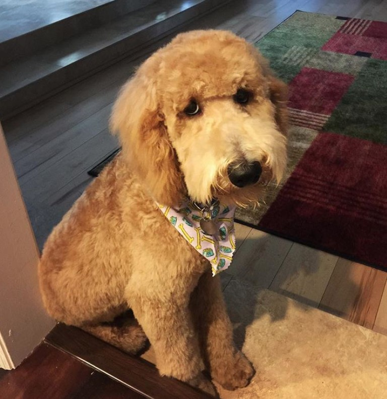 goldendoodle haircut my favorite dog doodle and 20 best goldendoodle haircut pictures page 5 the paws