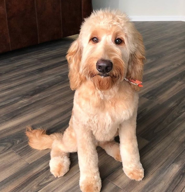 goldendoodle haircut my favorite dog doodle and 20 best goldendoodle haircut pictures page 4 the paws