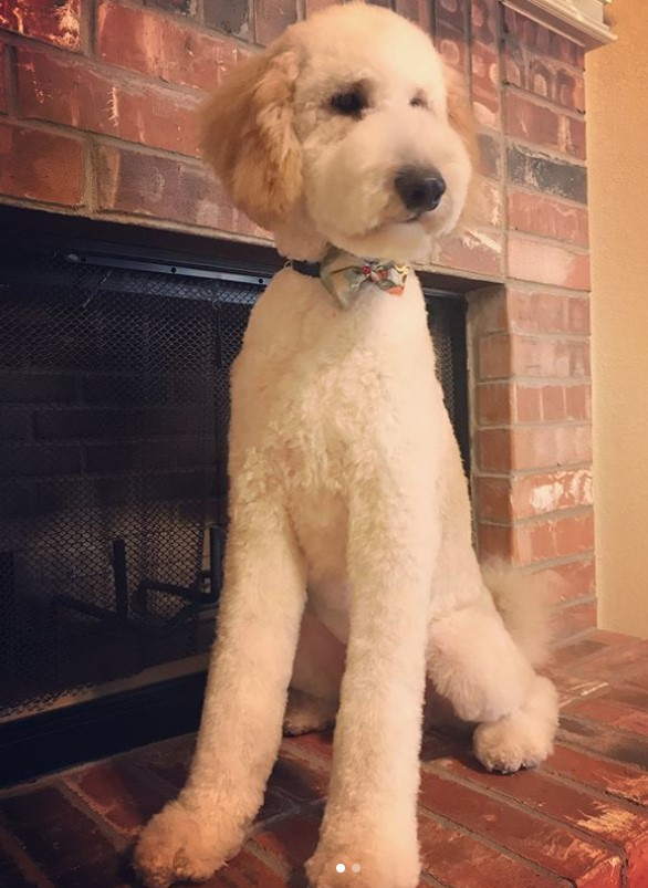 35 best images about goldendoodle haircuts on pinterest 20 best goldendoodle haircut pictures the paws