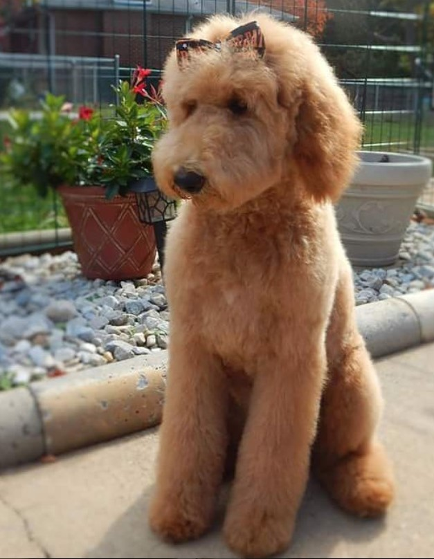 goldendoodle haircut pictures 20 best goldendoodle haircut pictures page 5 the paws