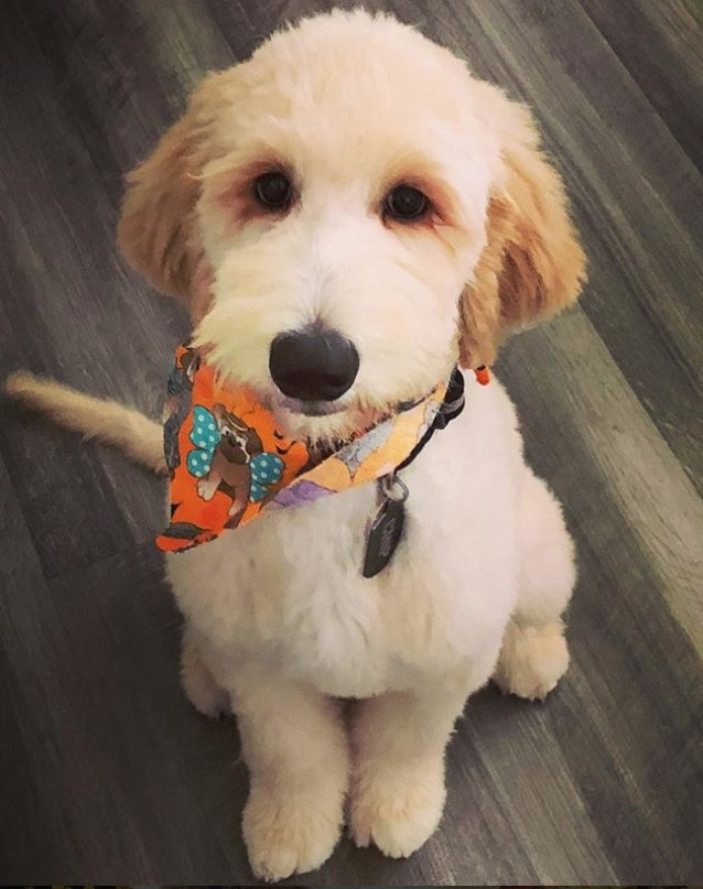 goldendoodle haircut my favorite dog doodle and 20 best goldendoodle haircut pictures page 2 of 6 the