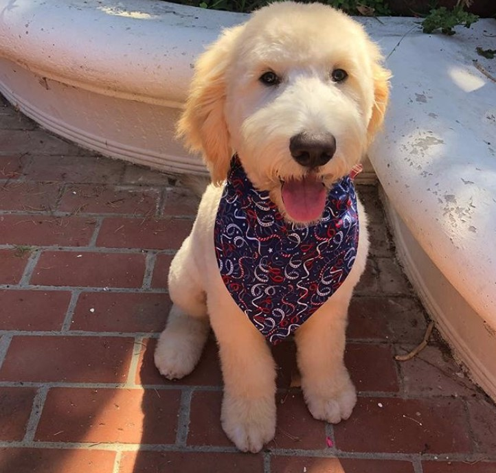 Mini goldendoodle puppy haircut, Goldendoodle short haircut for summer