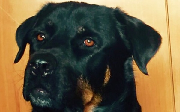 20 Rottweilers Mixed With Great Dane The Paws