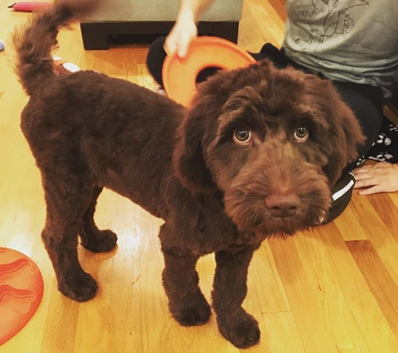 Brown labradoodle teddy bear cut, labradoodle short haircut
