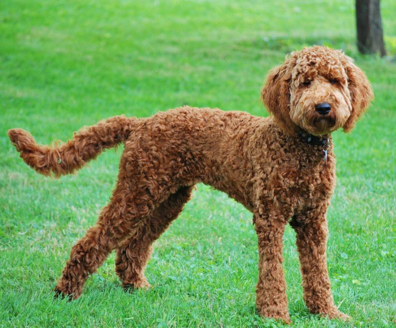 Red labradoodle short haircut for summer, labradoodle teddy bear cut