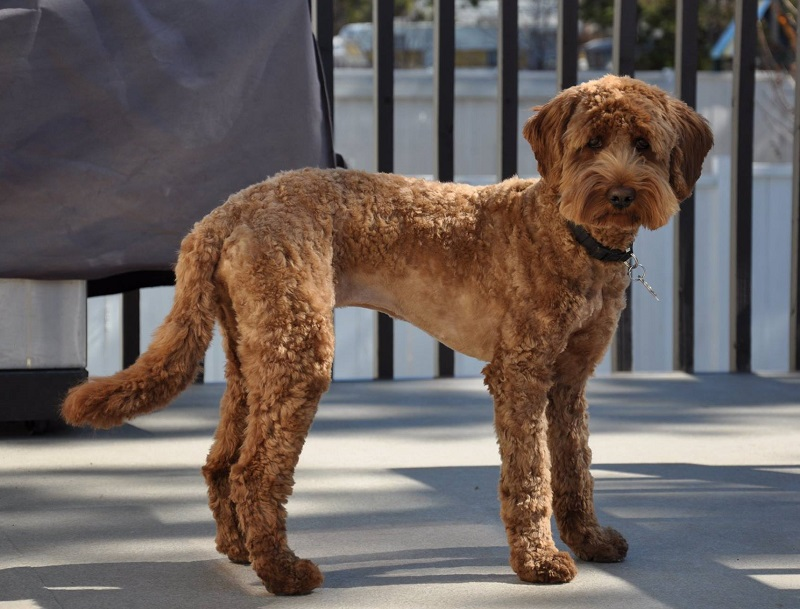 Red standard labradoodle short haircut for summer, labradoodle teddy bear cut