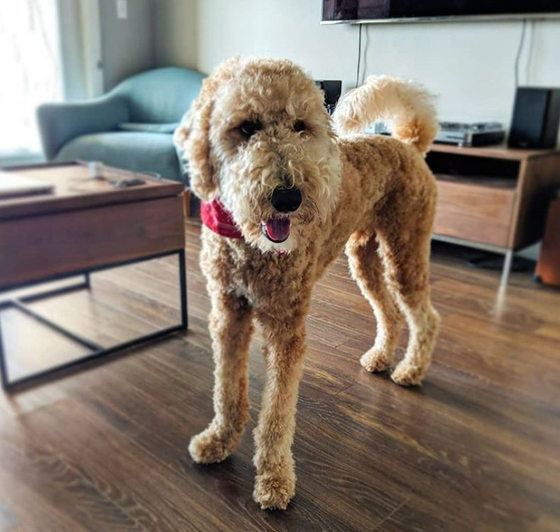 Apricot labradoodle short haircut for summer