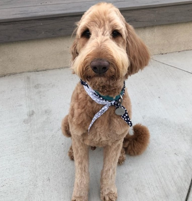 Labradoodle short haircut for summer