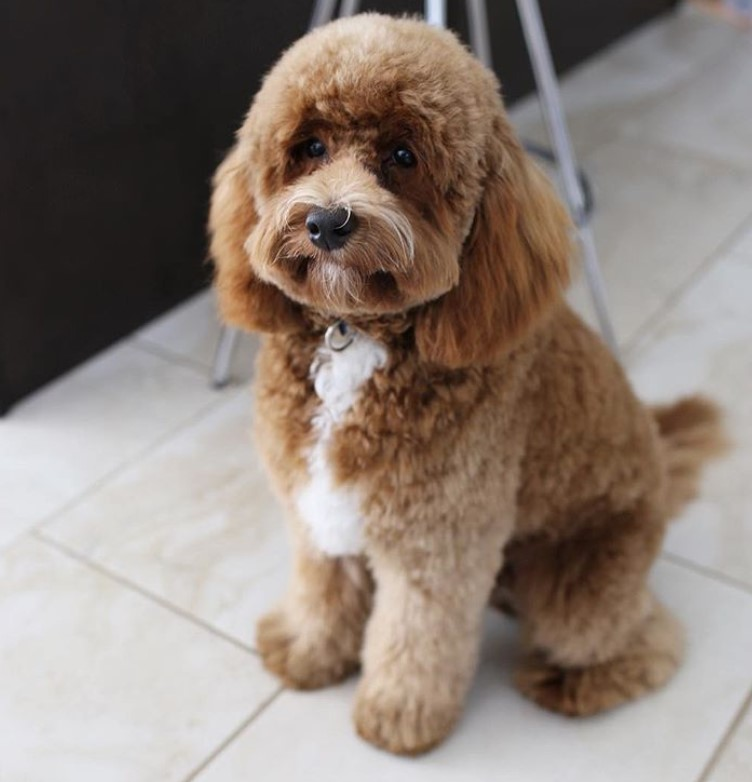 25 Best Labradoodle Haircuts For Dog Lovers The Paws