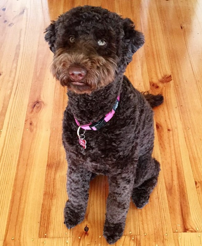 Brown labradoodle puppy cut, labradoodle short haircut for summer