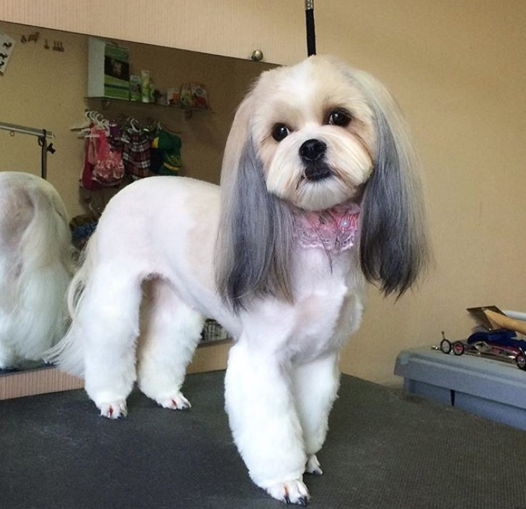 18 Best Lhasa Apso Haircuts For Dog Lovers Page 3 The Paws